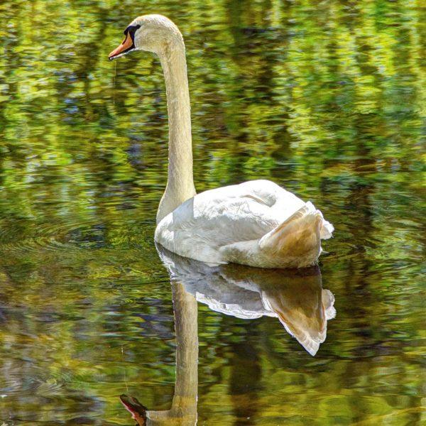Zwaan in het bos met spiegelbeeld
